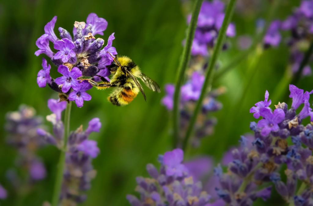 Image of a bee pollinating a purple flower.